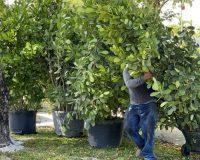 Clusia-Hedges-25-gallon-Xtra-Large-scaled-e1595603860230