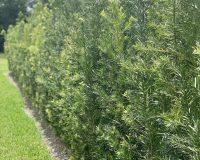 Podocarpus-hedge-plants-1